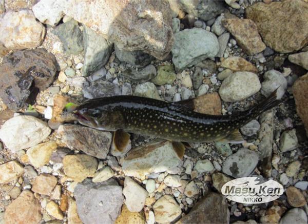 只見川水系の岩魚