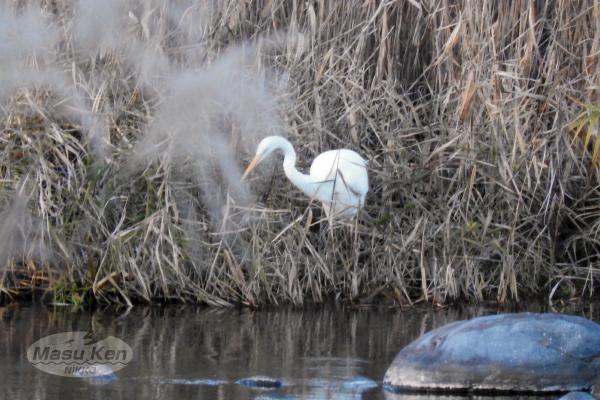 1612031大谷川の白い鳥