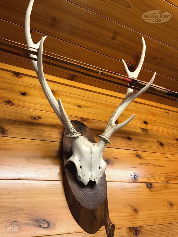 鹿の角 頭蓋骨付き